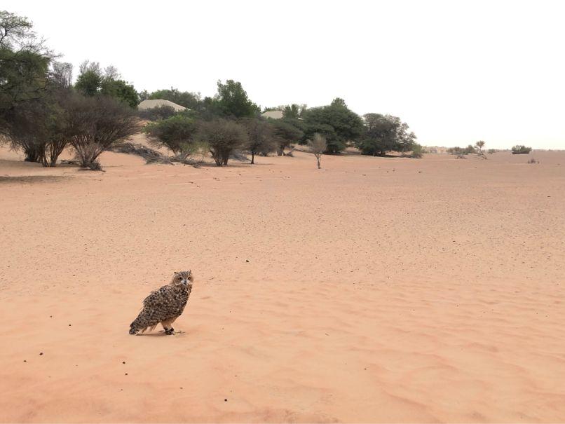 アルマハのアクティビティー鷹狩のフクロウ