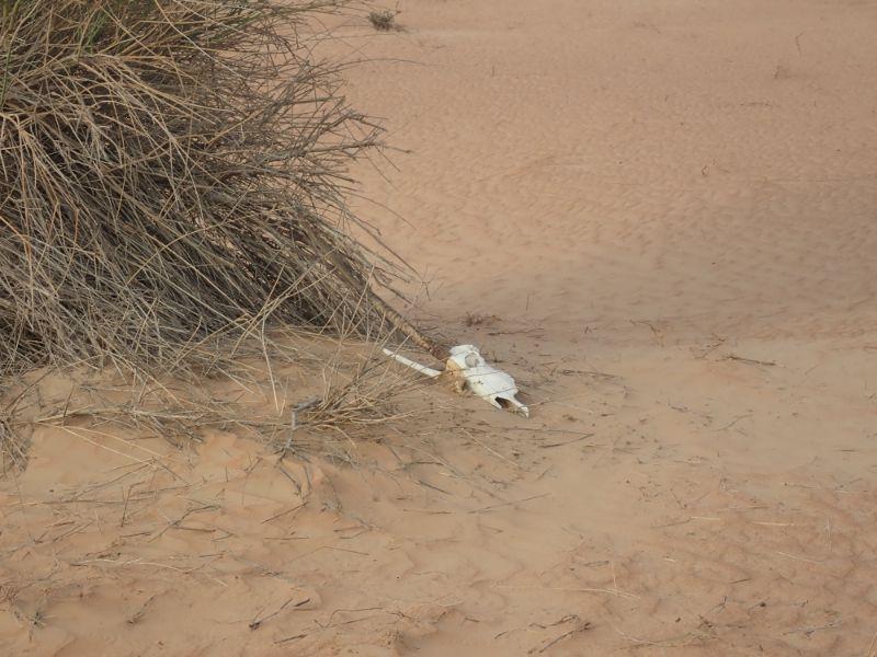 アルマハのアクティビティーのワイルドドライブで見たオリックスの骨